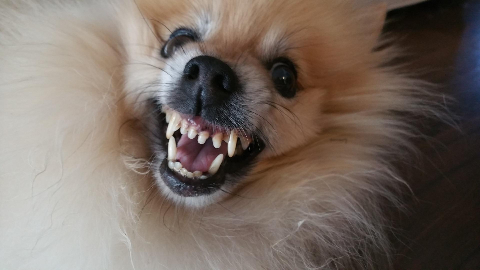 vicsorgó kutya