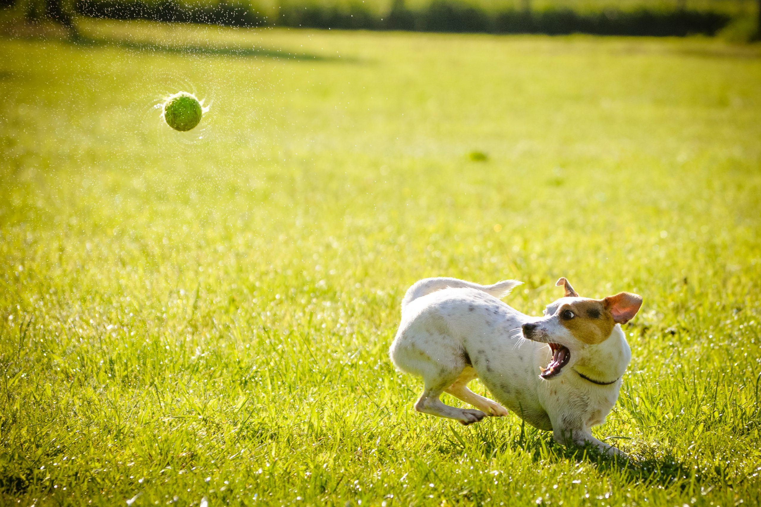 Labdázó kutya forrás: pxhere
