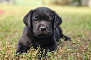 A vakvezető kutyák egészen kicsi koruktól készülnek a segítő szerepre