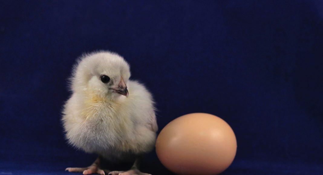 Érdekességek a tojásról