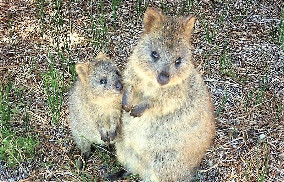kurtafarkú kengurú vagy quokka