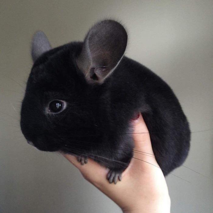 fekete chinchilla
