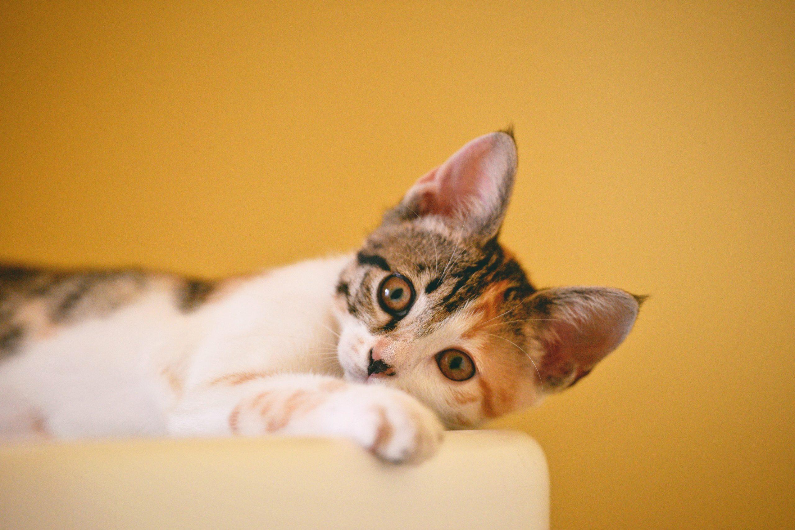 macskakiállítás
